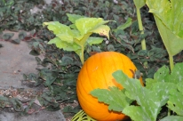 All the pumpkins ripened in August