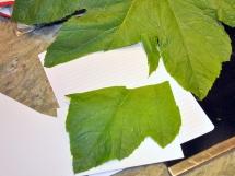 One leaf made several postcards