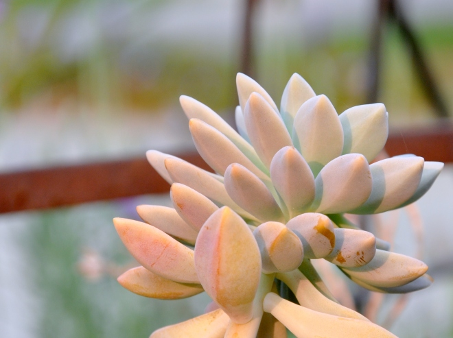 peach toned succulent