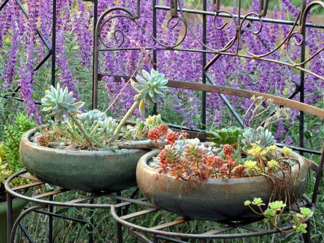 purple Mexican sage, succulents