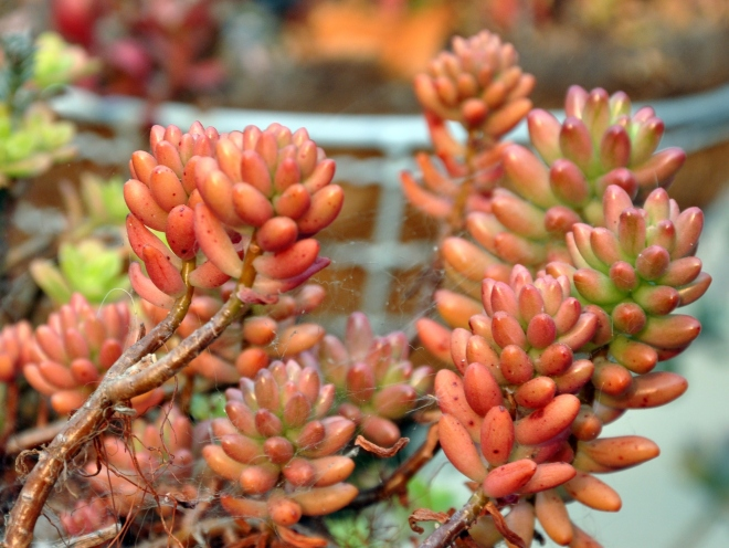 red jelly bean succulent