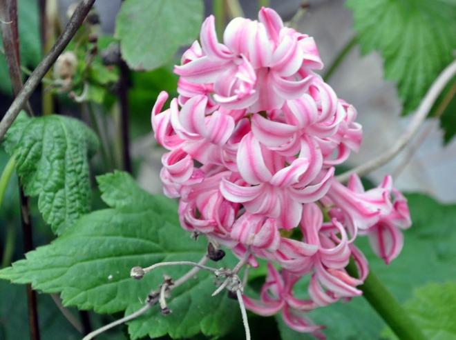 Pink striped hyacinth