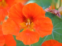 A rich orange nasturtium