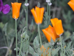 California golden poppies spread throughout the garden