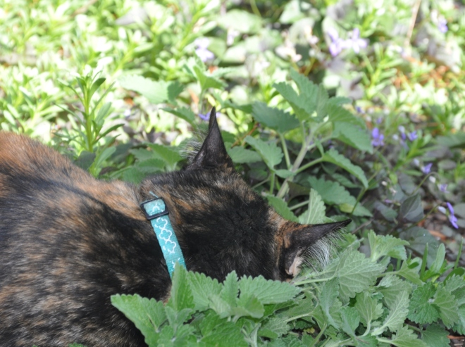 cat with nose in nepeta plant
