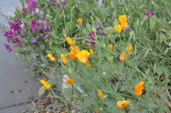 Mixture of poppies and sweet peas at the curb