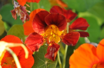 Almost red nasturtium