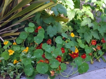 Nasturtium growing near the New Zealand flax