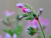 Pink geranium about to bud