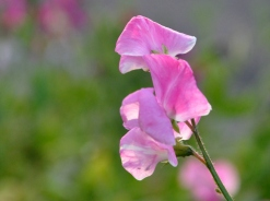 A variegated pink sweet pea