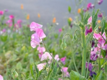 Assorted sweet peas