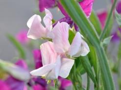 Pastel pink sweet pea
