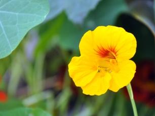 Soft yellow nasturtium