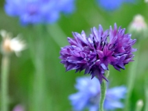 The darkest of the cornflowers