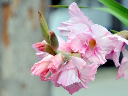 Gladiola closeup