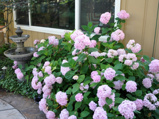 Pink hydrangea dominating the corner