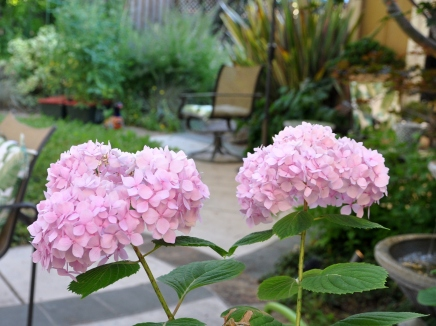 Pink hydrangea looking refreshed