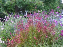 Sweet peas grow amid the perennials