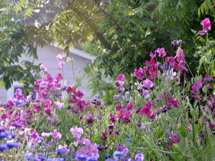 Assorted sweet peas return year after year