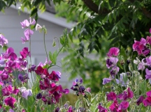 Sweet peas in rich purples, magenta and lavender