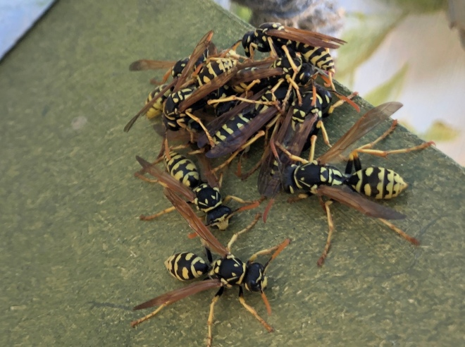 paper wasp cluster