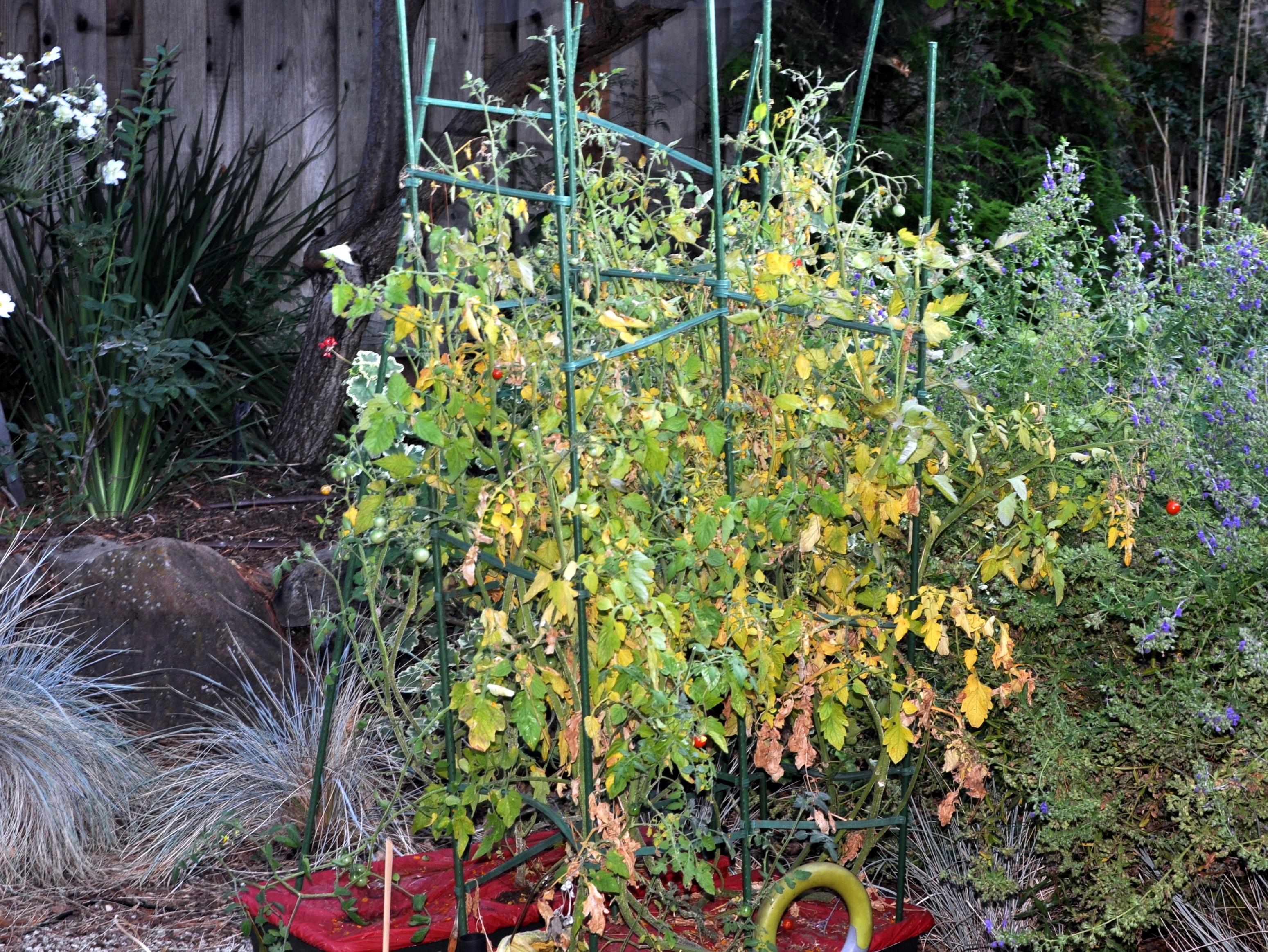 Mr. Stripey tomatoes – Gardening Nirvana