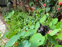 Tessa amid the nasturtium and abutilon