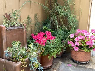 Azaleas and succulents on the back steps