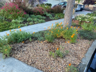 Curb garden poppies