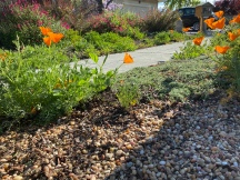 California poppies, no more weeds