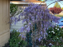 Wisteria along the walkway